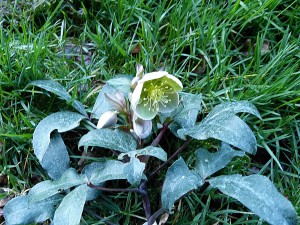 Hellebore Sternii Flame - Photo GC