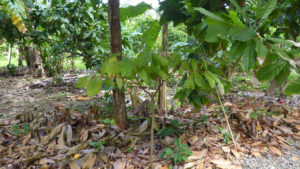 Plant cacao - Photo LM